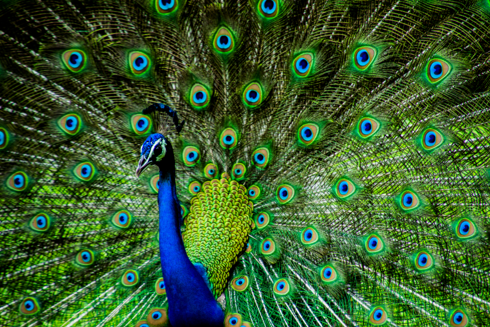 Indian-Male-Peacock-ImageKandarps A