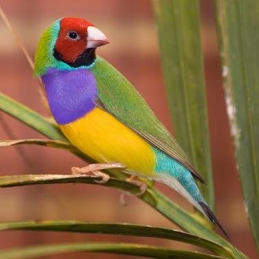 A Gouldian Finch