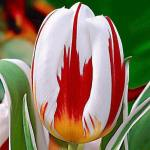 The Canadian Tulip, Bred for Canada's 150Birthday